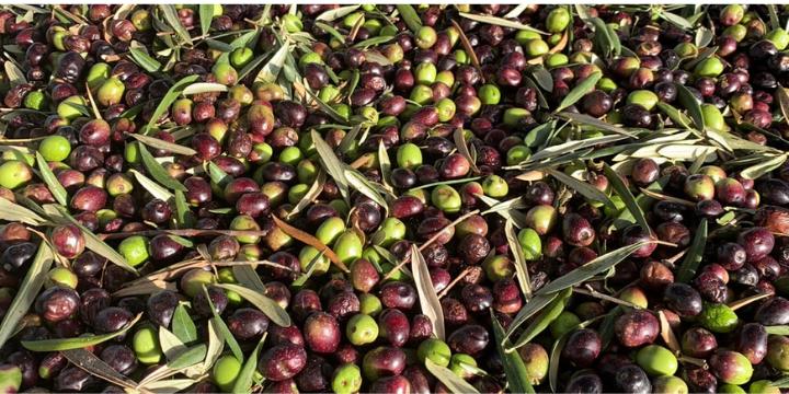 Olive da tavola Italia